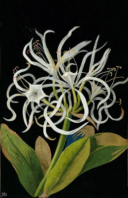 Mary Delany, Pancratium Maritinum, 1775; cut and colored papers on a black ink background.